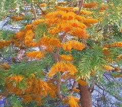 Grevillea robusta (flor)