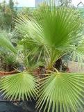 palmera washigtonia