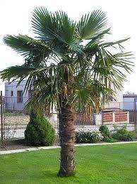palmera trachycarpus