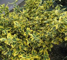 Evonimus amarillo