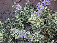 Agathea variegada